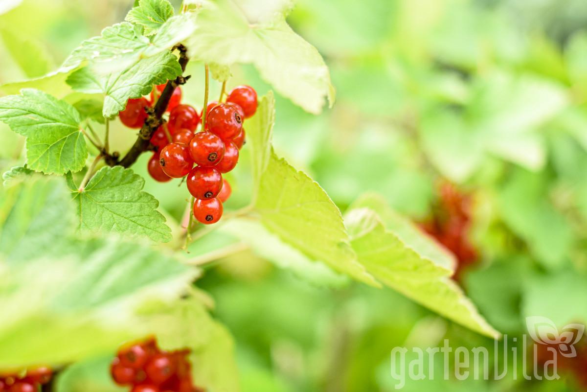 Gartentipp Februar 2021: Beerensträucher richtig schneiden