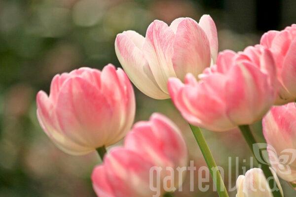Gartentipp November 2020: Zwiebelblumen jetzt setzen
