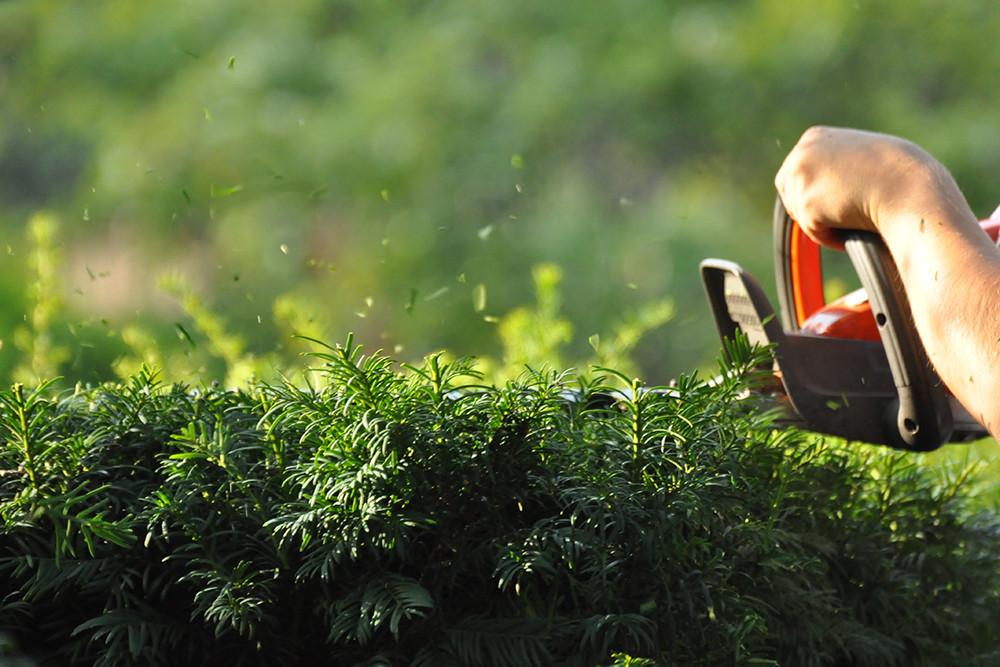 Gartentipp August: Tipps und Tricks für den Heckenschnitt